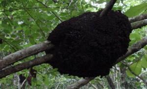 nasutitermes nest isoptera e1465232210115 300x183 - Matar Cupim